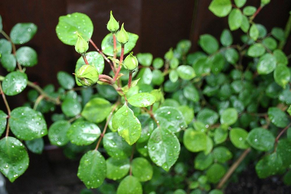 Tipps zur Rosenpflanzzeit