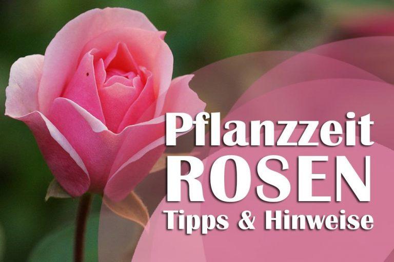 Rosenpflanzzeit