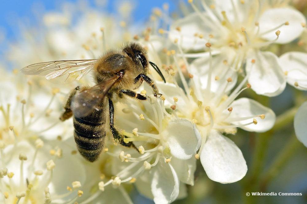 Schwedische Mehlbeere, weiße Blüten