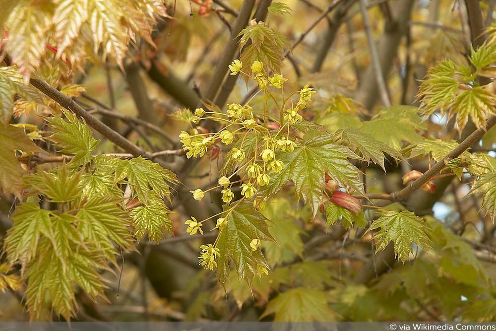 Spitz-Ahorn, kleinwüchsige Bäume