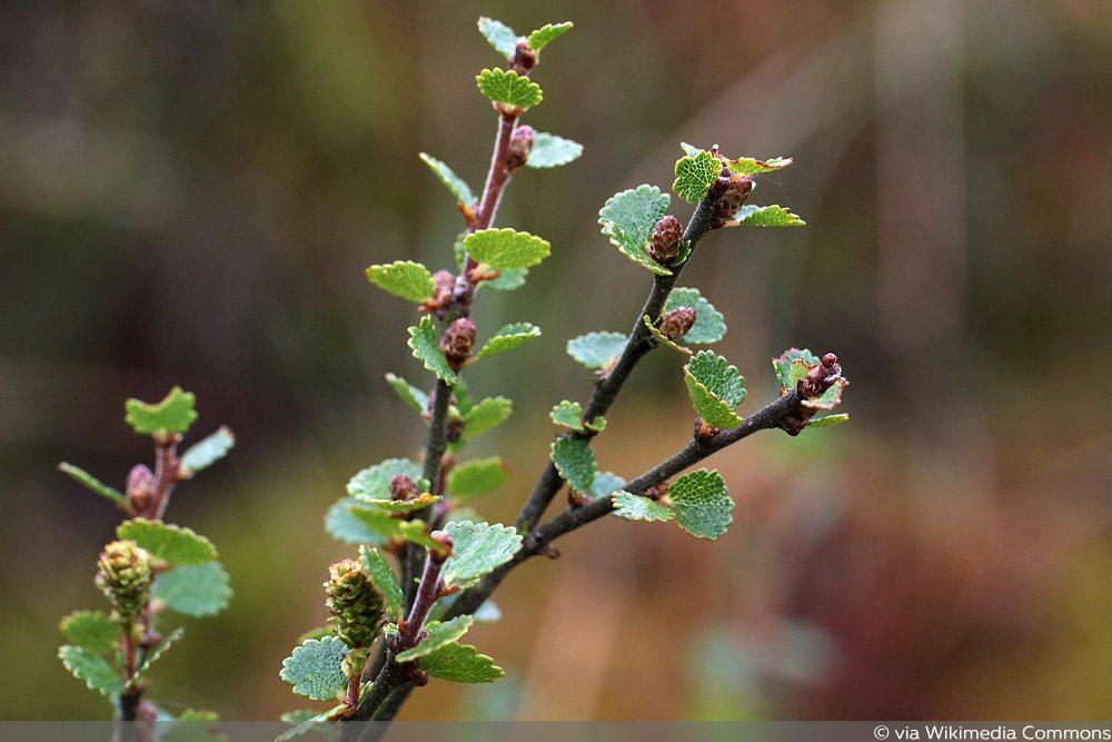 Zwerg-Birke (Betula nana)