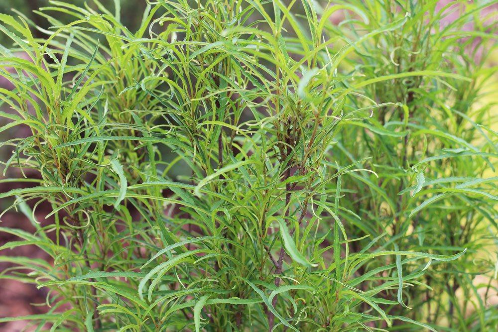 Faulbaum, Rhamnus frangula, Bienenfutterpflanze