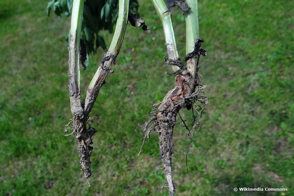 Fusarium-Welke an einer Ackerbohne