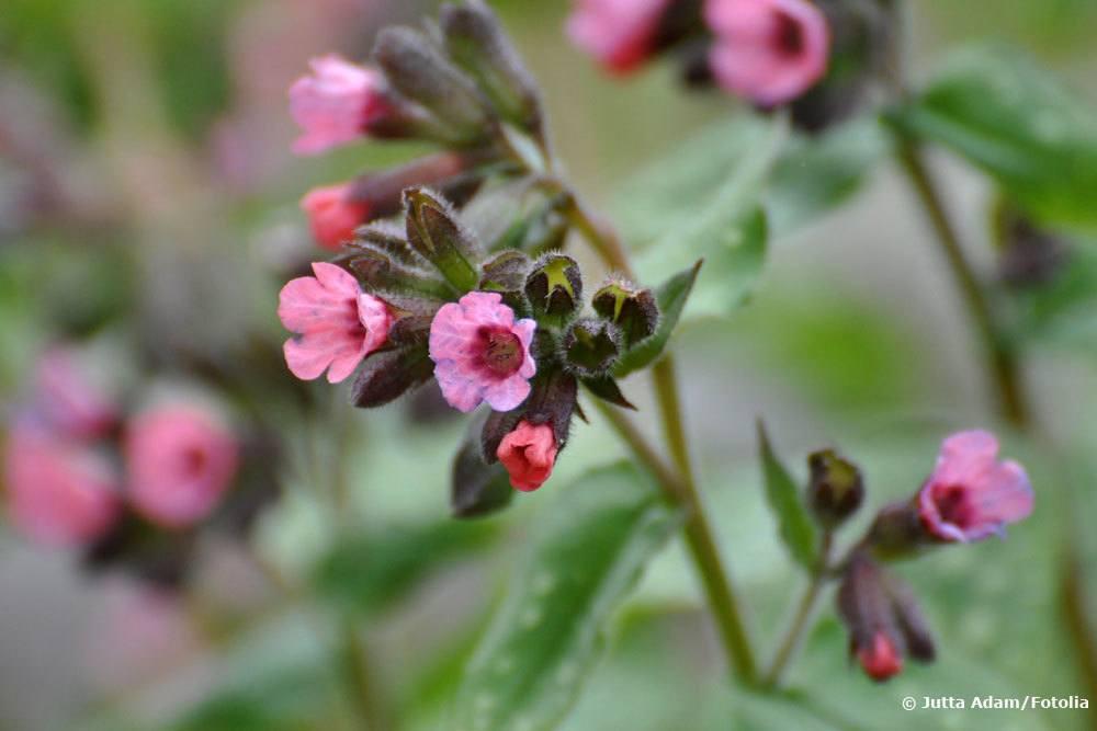 Geflecktes Lungenkraut, Bienenfutterpflanze
