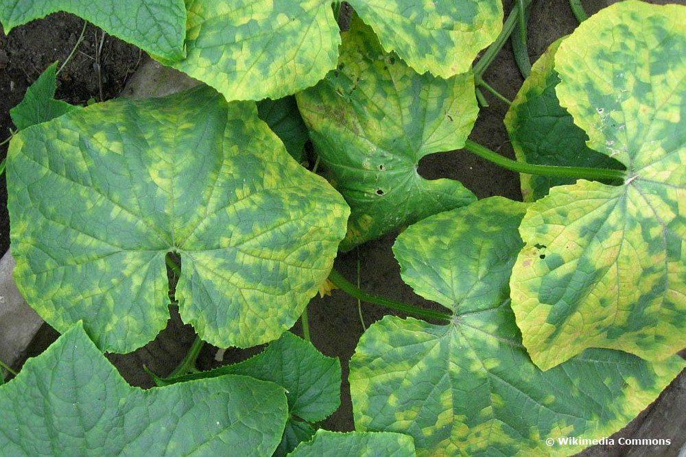 Gurkenmosaikvirus