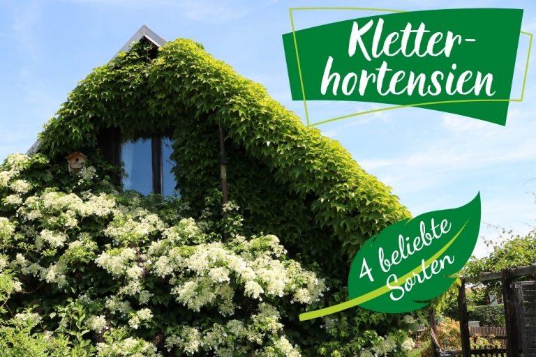 Sorten Hydrangea petiolaris