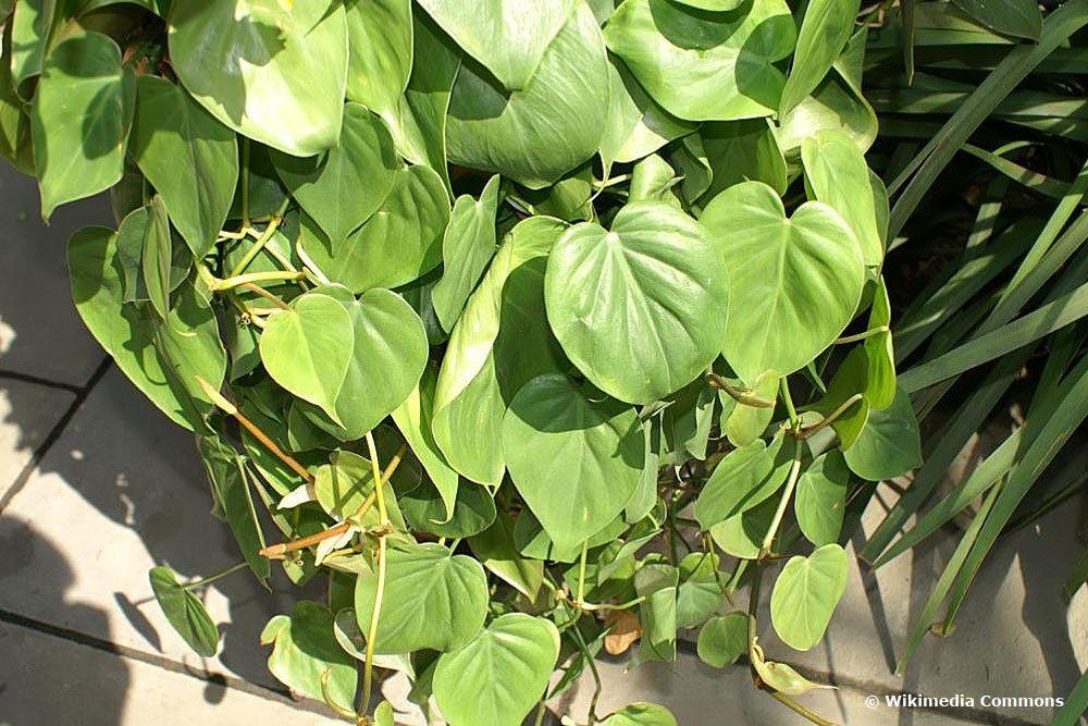 kletternder Baumfreund, Philodendron scandens