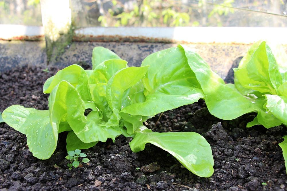 Kopfsalat, , Gemüse im März und April pflanzen
