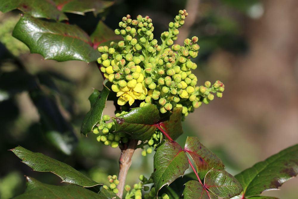 Gewöhnliche Mahonie, Bienenfutterpflanze