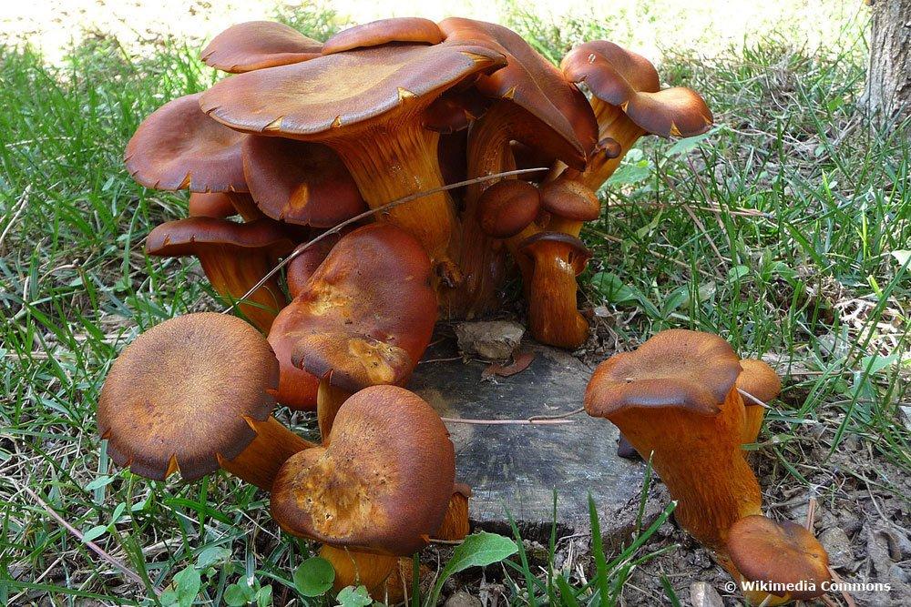 Ölbaumtrichterling, Dunkler Ölbaumpilz (Omphalotus olearius)