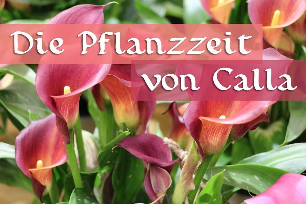 Pflanzzeit von Calla