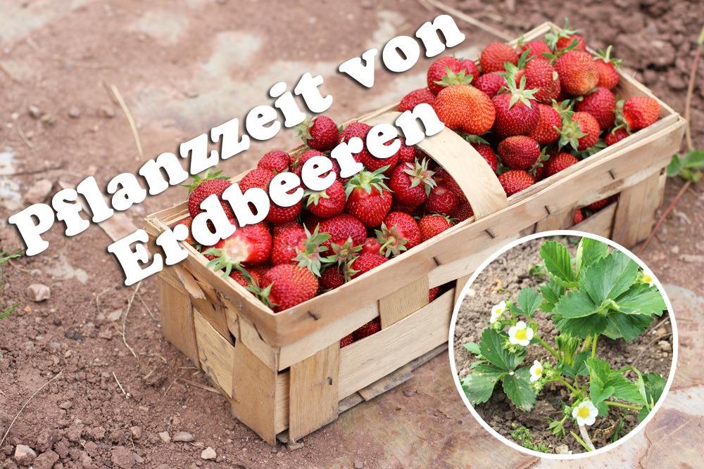 Pflanzzeit von Erdbeeren