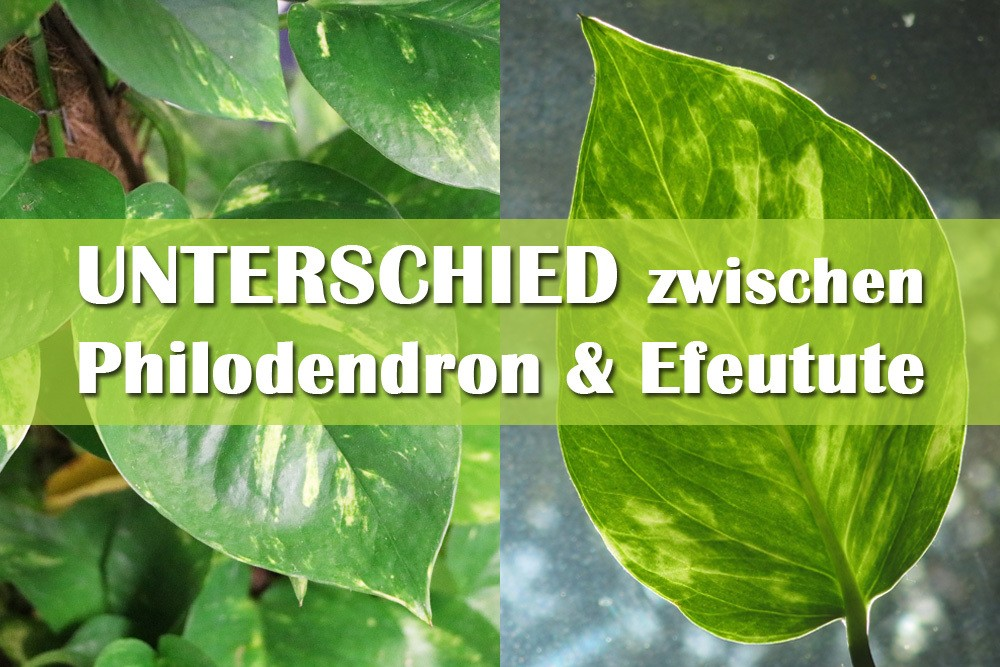 Unterschied zwischen Philodendron und Efeutute