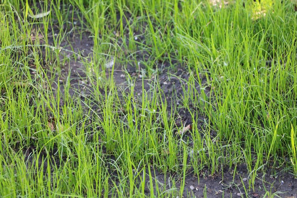 Rasen nachsäen