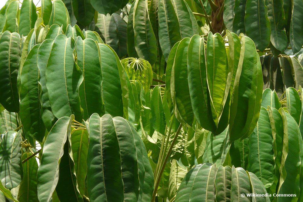 Regenschirmbau, Schefflera actinophylla, Zimmerpflanze