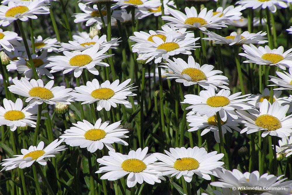 Wiesenmargeriten, Chrysanthemum leucanthemum