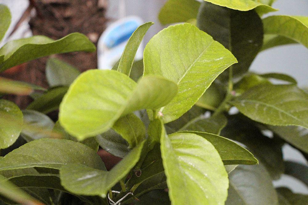 Zitronenbaum gelbe Blätter