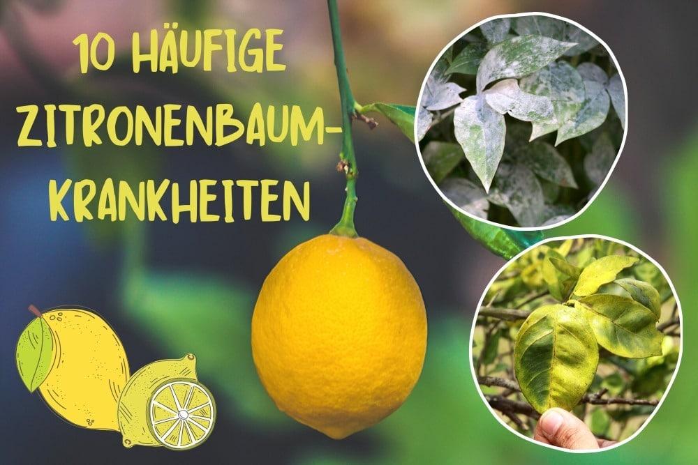 Zitronenbaum-Krankheiten