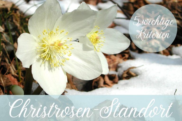 Christrosen-Standort