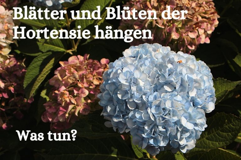 Hortensien - Titel