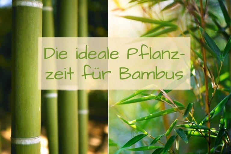 Pflanzzeit für Bambus