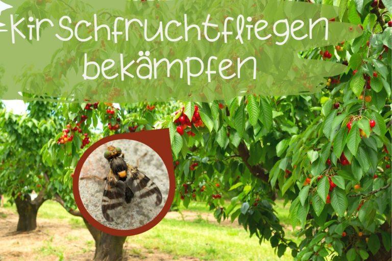 Kirschfruchtfliegen bekämpfen - Titel