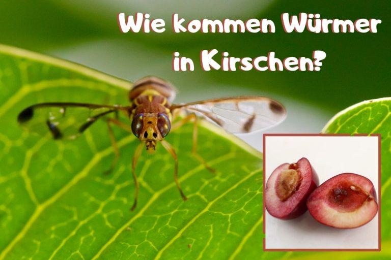 Würmer in Kirsche - Titel