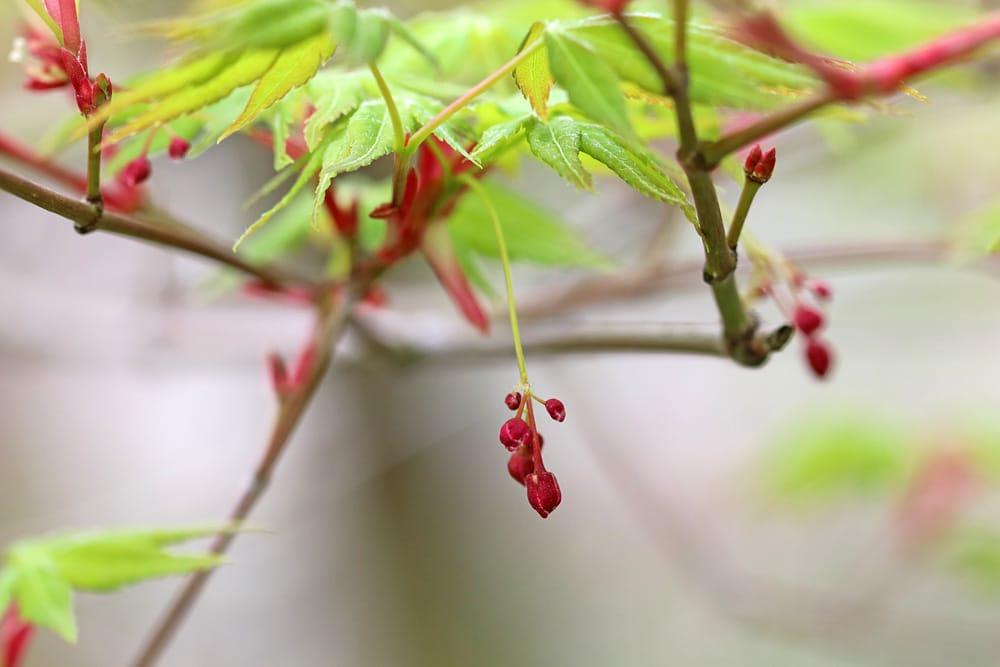 Acer palmatum, Fächerahorn, bienenfreundliche Pflanzen