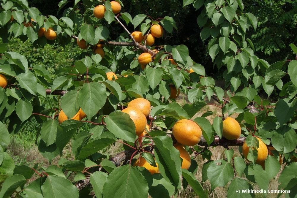 Aprikose/Marille (Prunus armeniaca)