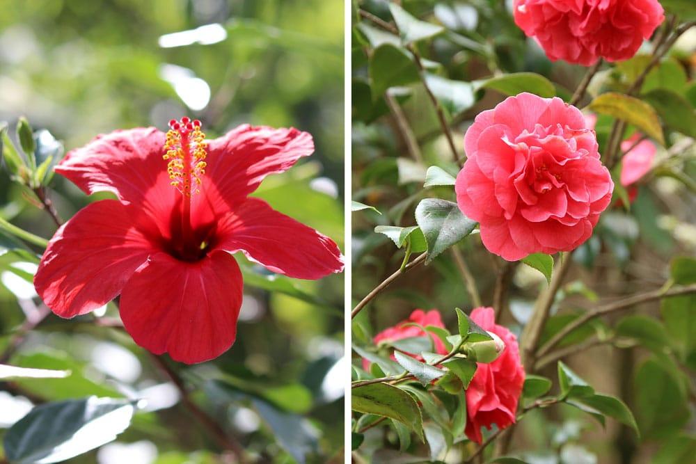 Chinesischer Roseneibisch (Hibiscus rosa-sinensis), Kamelie (Camellia japonica), Sträucher Blüten