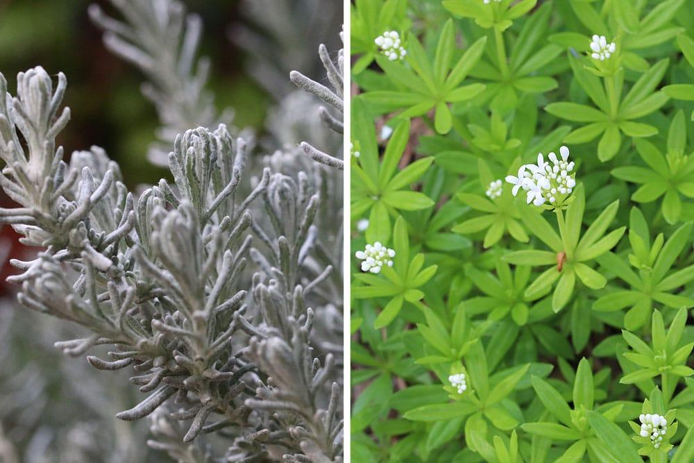 Currykraut (Helichrysum italicum), Waldmeister (Galium odoratum), bienenfreundliche Pflanzen