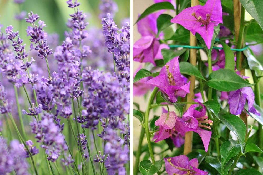 Echter Lavendel (Lavandula angustifolia), Kahle Drillingsblume (Bougainvillea glabra), Sträucher Blüten