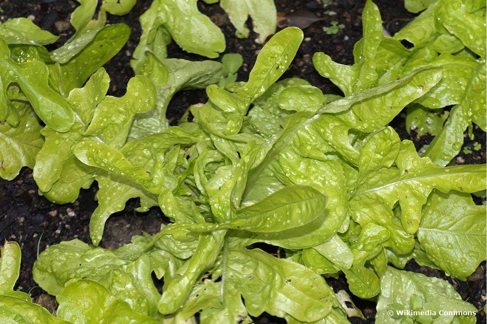 Eichenblatt Pflücksalat