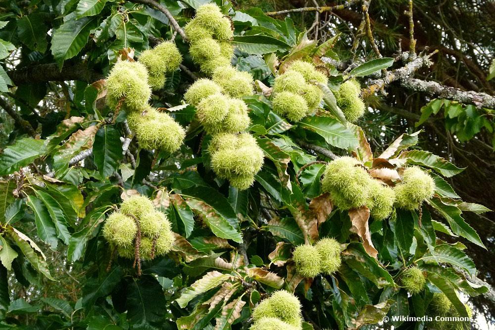 Esskastanie/Maronen (Castanea sativa), Obstbäume