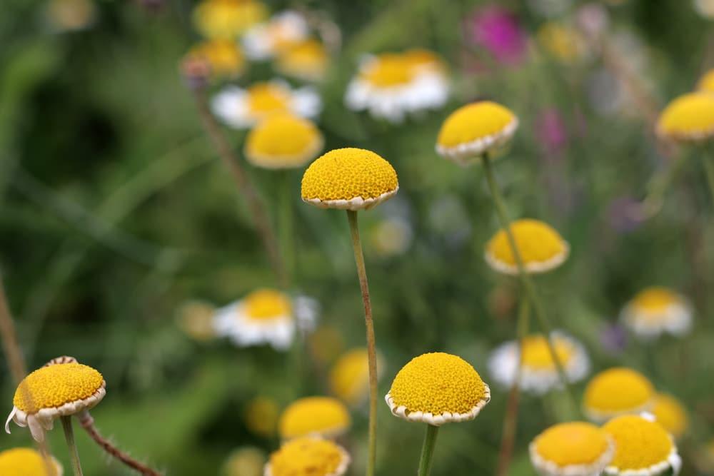 Färberkamille (Anthemis tinctoria)