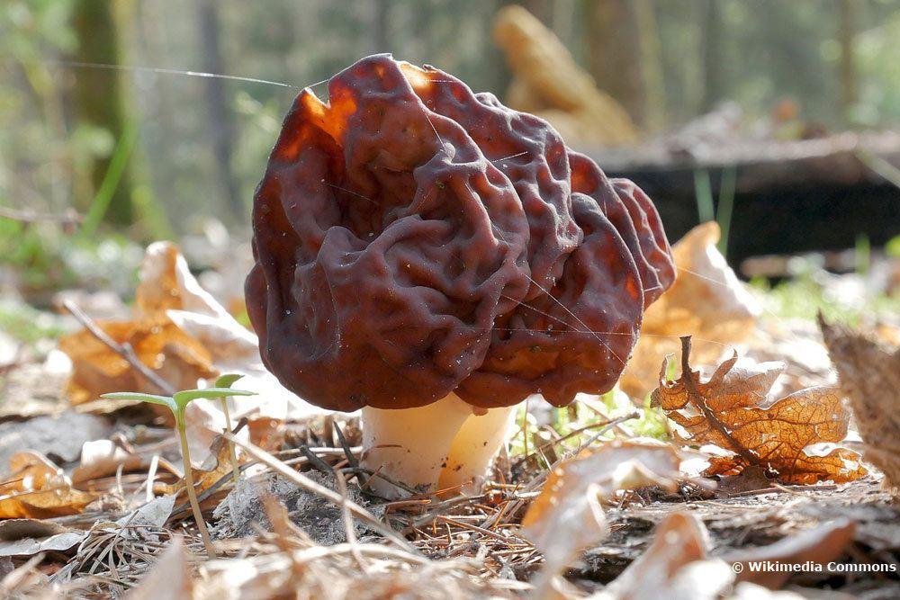 Frühjahrs-Giftlorchel (Gyromitra esculenta), Giftpilz