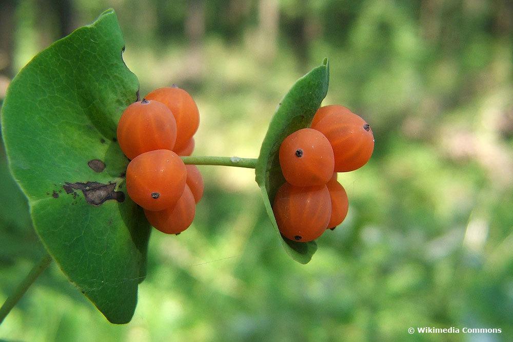 Gartengeißblatt (Lonicera caprifolium), Beeren