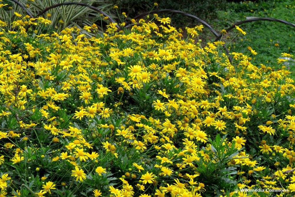gelbe Strauchmargerite (Euryops chrysanthemoides)