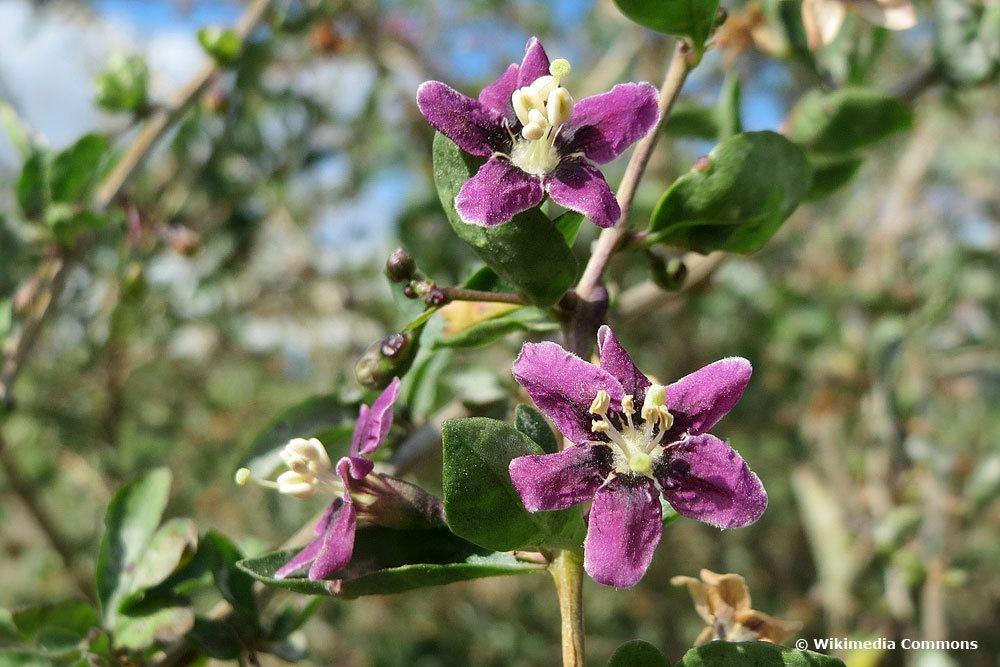 Gemeine Bocksdorn (Lycium barbarum), Wildstrauch