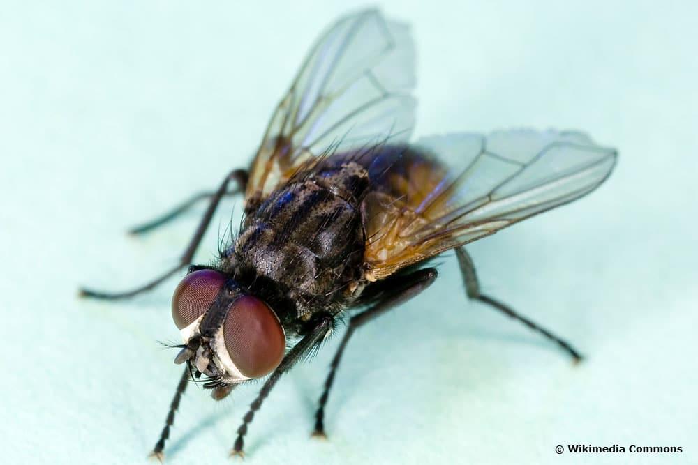 gemeine Stubenfliege (musca domestica)