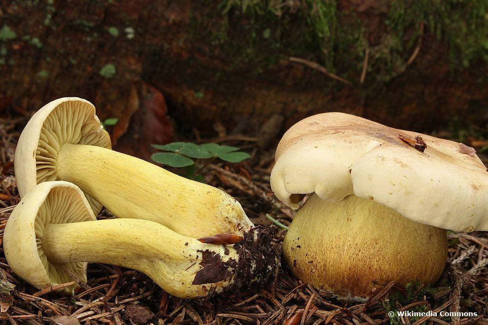 Gemeiner Schwefel-Ritterling (Tricholoma sulphureum)