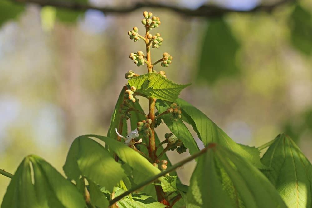 Gewöhnliche Rosskastanie (Aesculus hippocastanum), bienenfreundliche Pflanzen