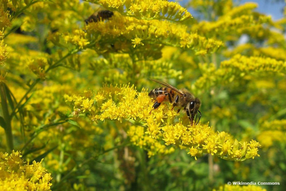 Goldruten (Solidago), bienenfreundliche Pflanzen