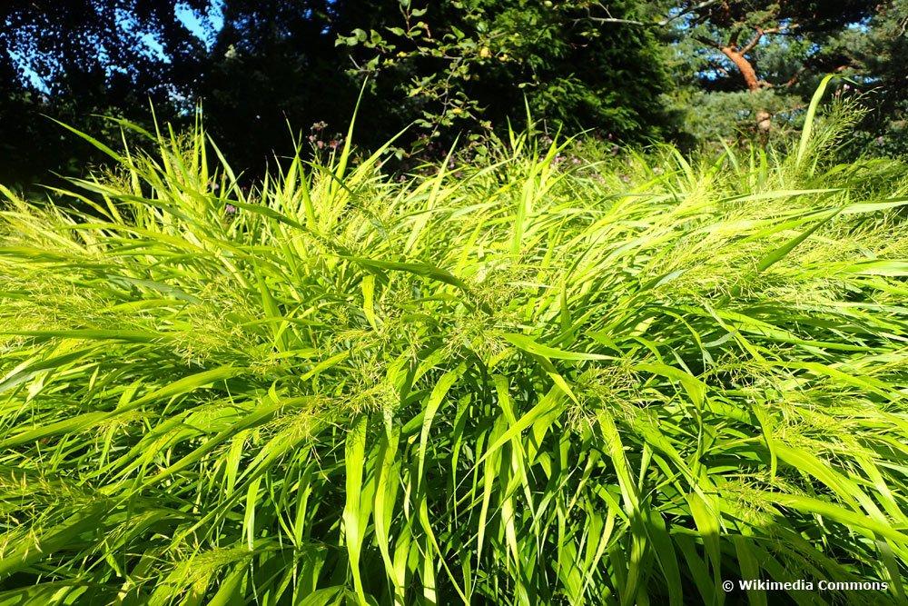 Japan-Waldgras (hakonechloa makra)