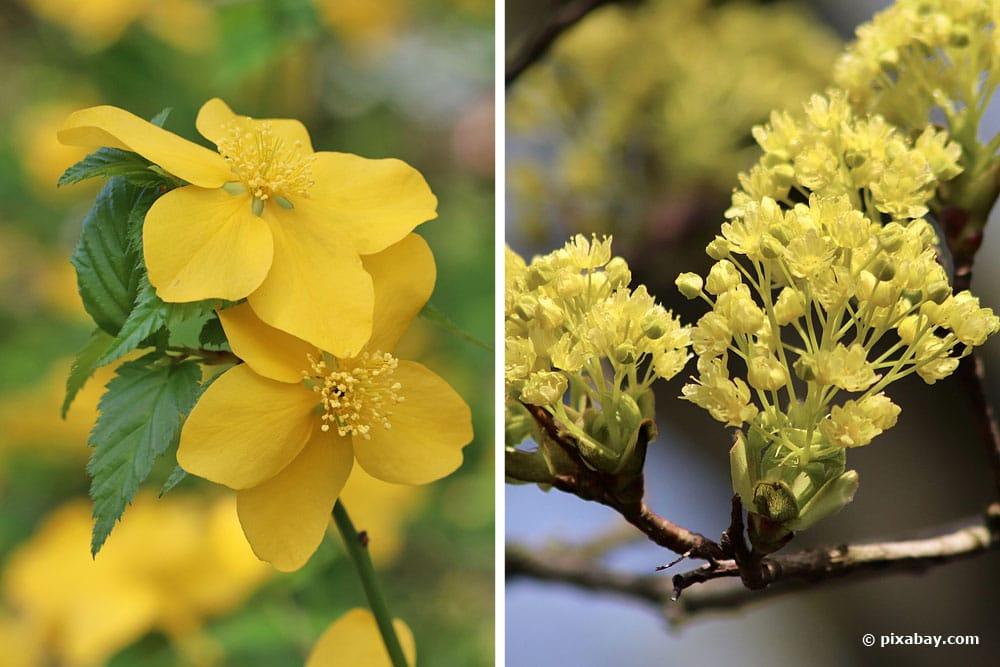 Japanische Kerrie (Kerria japonica), Spitzahorn (Acer platanoides)