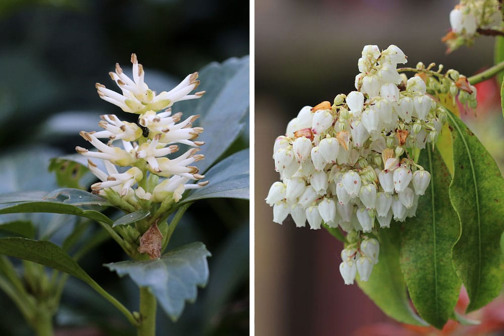 Japanischer Ysander (Pachysandra terminalis), Rote Glanzmispel 'Red Robin' (Photinia fraseri 'Red Robin')
