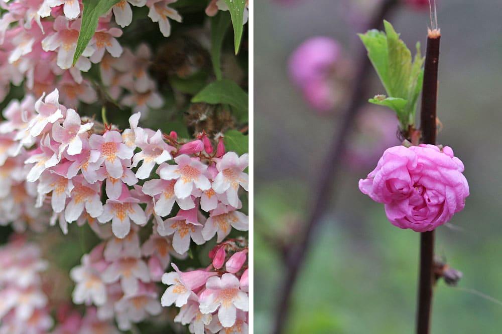 Kolkwitzie (Kolkwitzia amabilis), Mandelstrauch (Prunus triloba)