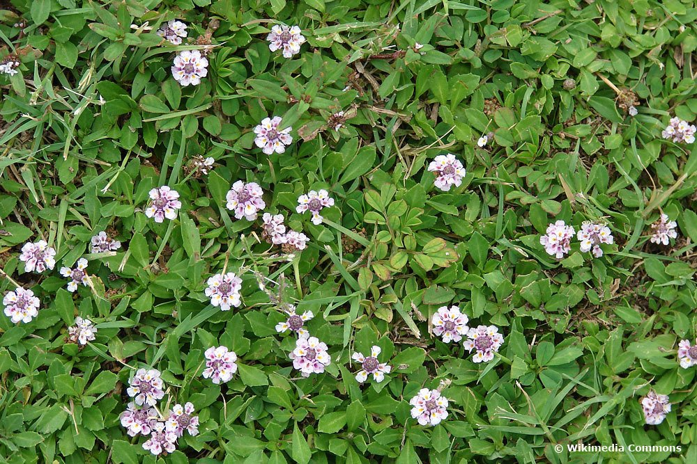 Kriechende Teppichverbene (Phyla nodiflora)