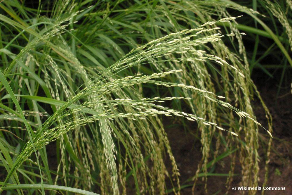 Liebesgras (Eragrostis)
