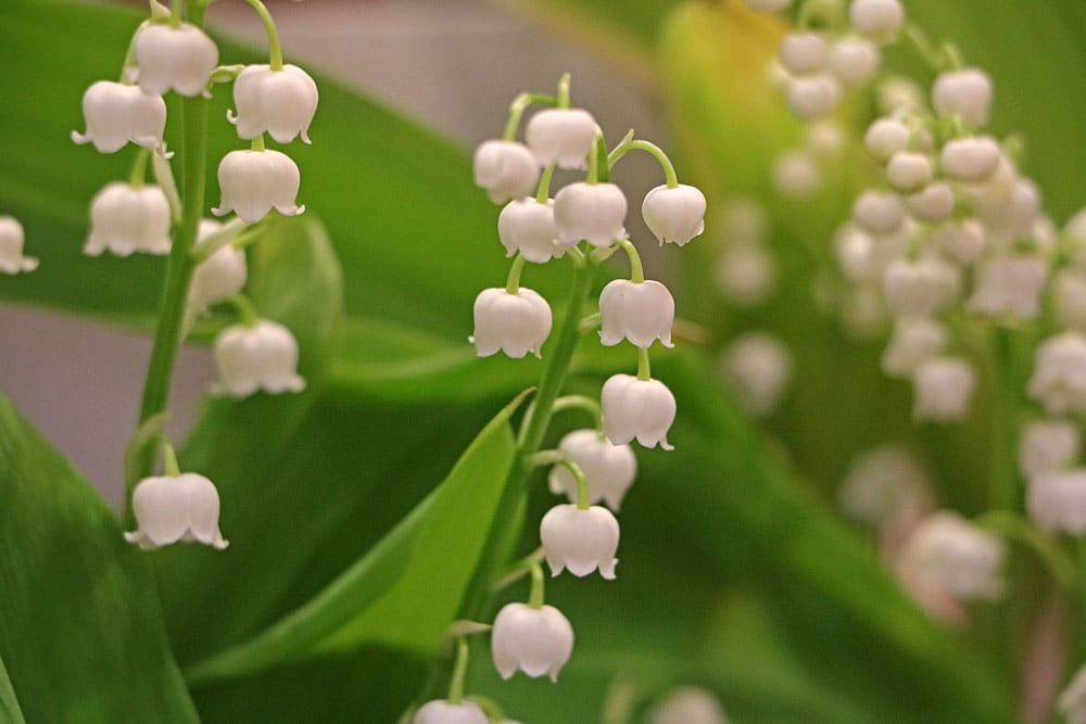 Maiglöckchen (Convallaria majalis), bienenfreundliche Pflanzen